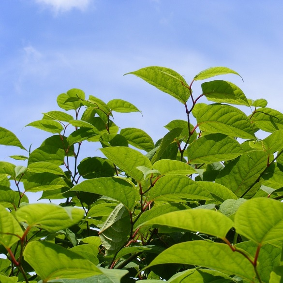 japanese knotweed healthy growth summer