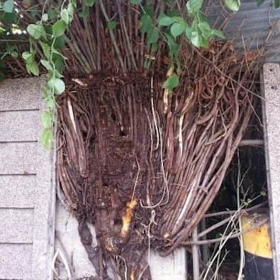 Japanese knotweed canes, rhizome and roots