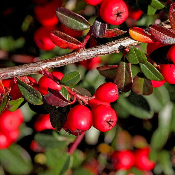 Cotoneaster close up berries