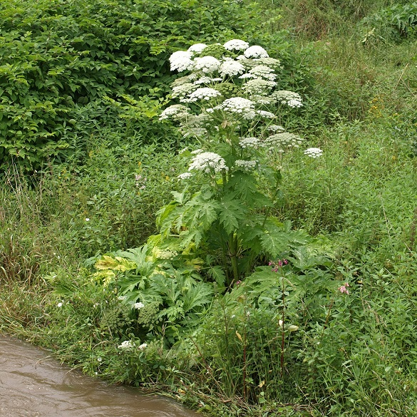 Giant Hogweed by water