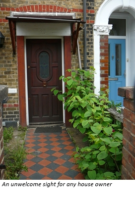 Japanese knotweed on residential property