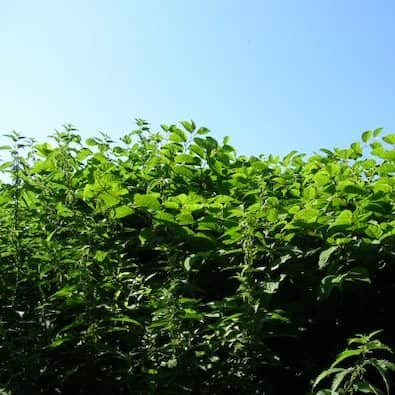 Pictures of Japanese knotweed casusing damage