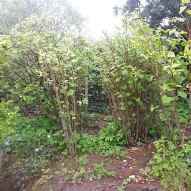 Pictures of Japanese Knotweed showing the features for identification