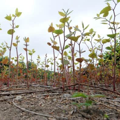 Pictures of Japanese knotweed plants growing
