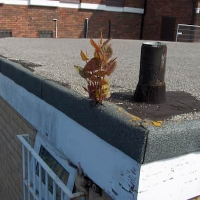 Japanese knotweed structural damage to roof