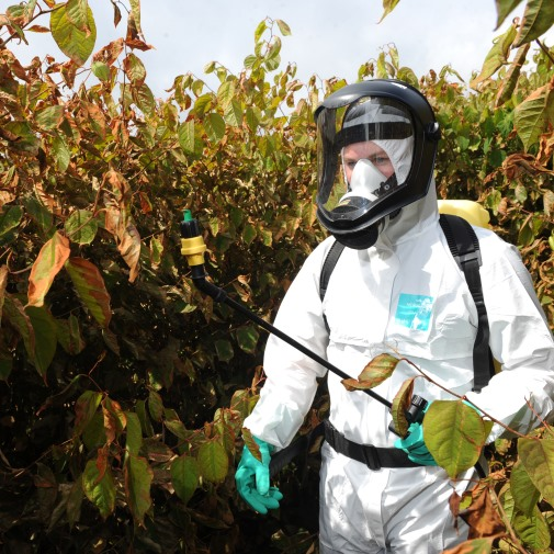 Herbicide treatment of Japanese knotweed