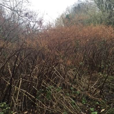 Japanese Knotweed winter