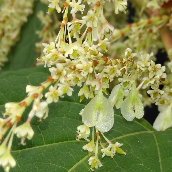 Close up of Japanese knotweed flowers