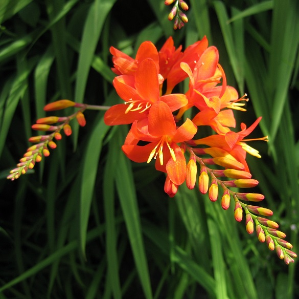 Montbretia orange flowers