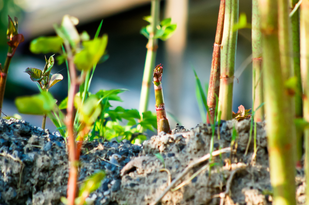 an image of japanese knotweed growing through a crack in concrete