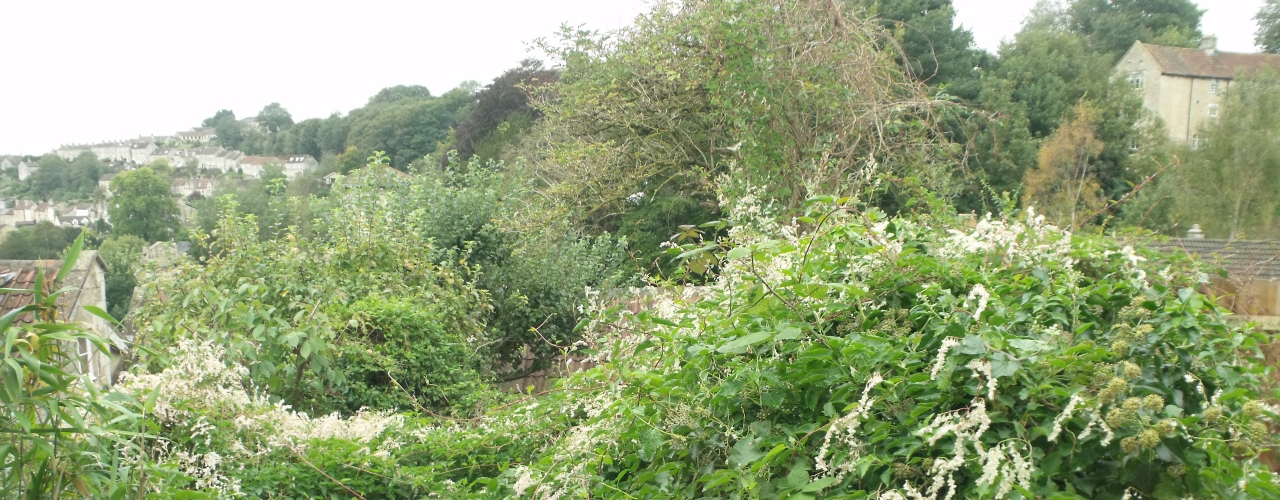 Bindweed - a plant often mistaken for Japanese knotweed