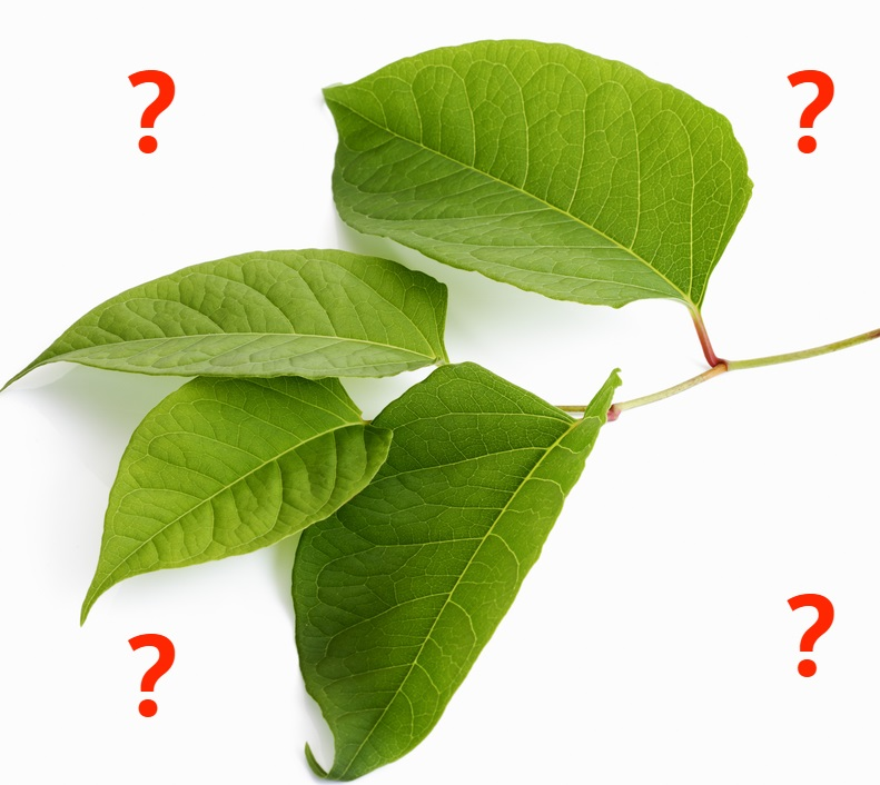 Picture of Japanese Knotweed and how to identify it