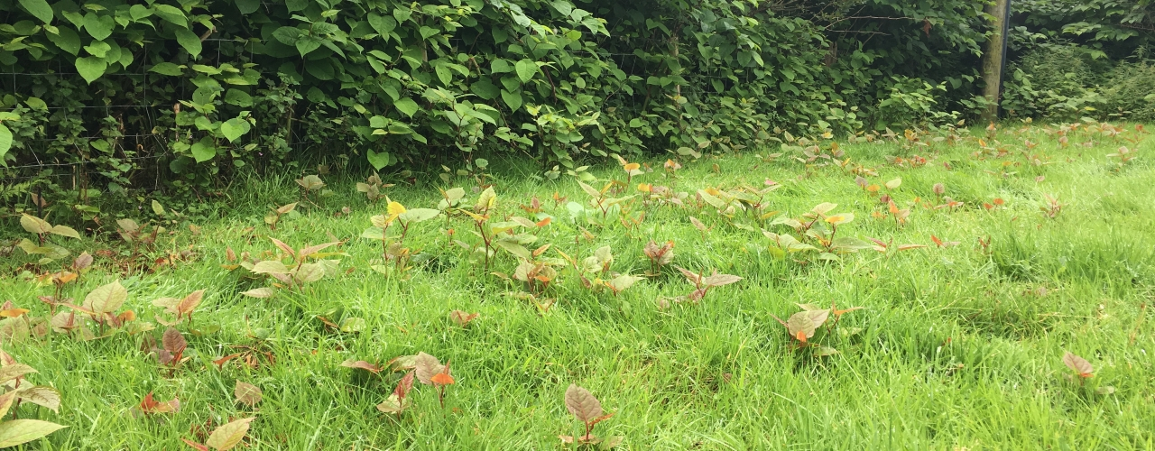 Japanese knotweed growth across a lawn