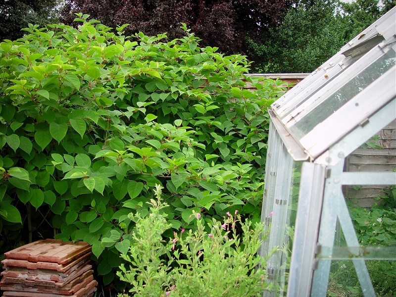 japanese knotweed growing through fence and a greenhouse causing problems securing a mortgage