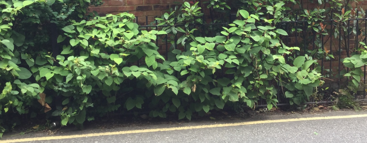 Japanese knotweed growing through a garden fence.