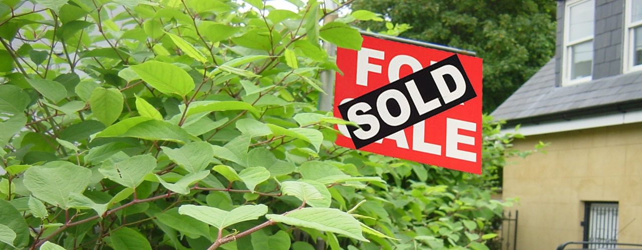 Japanese knotweed on property being sold
