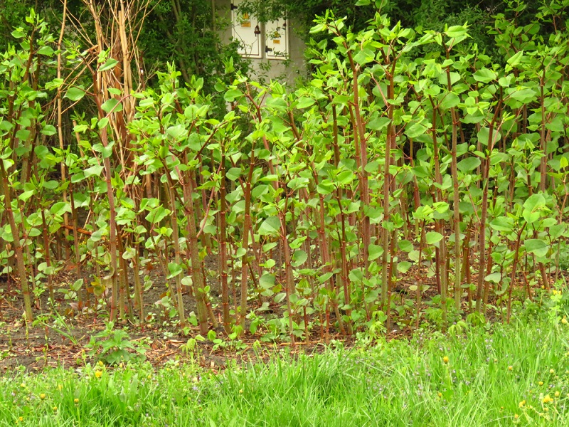 An infestation of Japanese Knotweed that needs to be removed by an expert