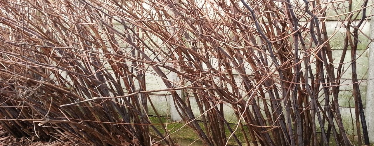 Japanese knotweed canes in the winter