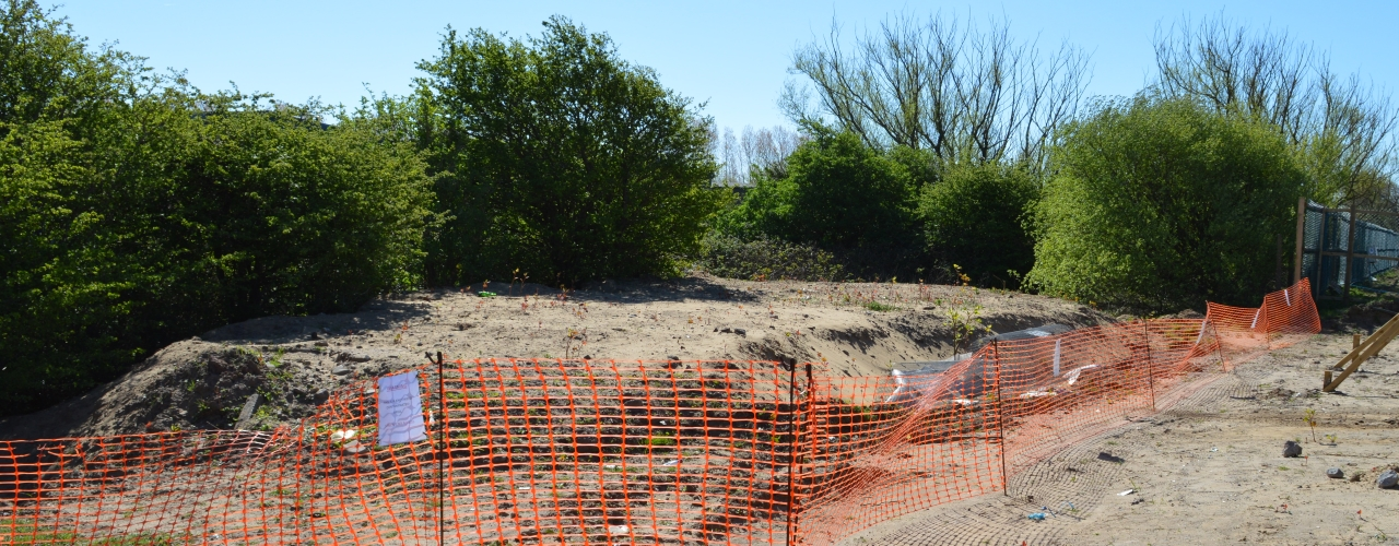 Japanese knotweed on a construction site