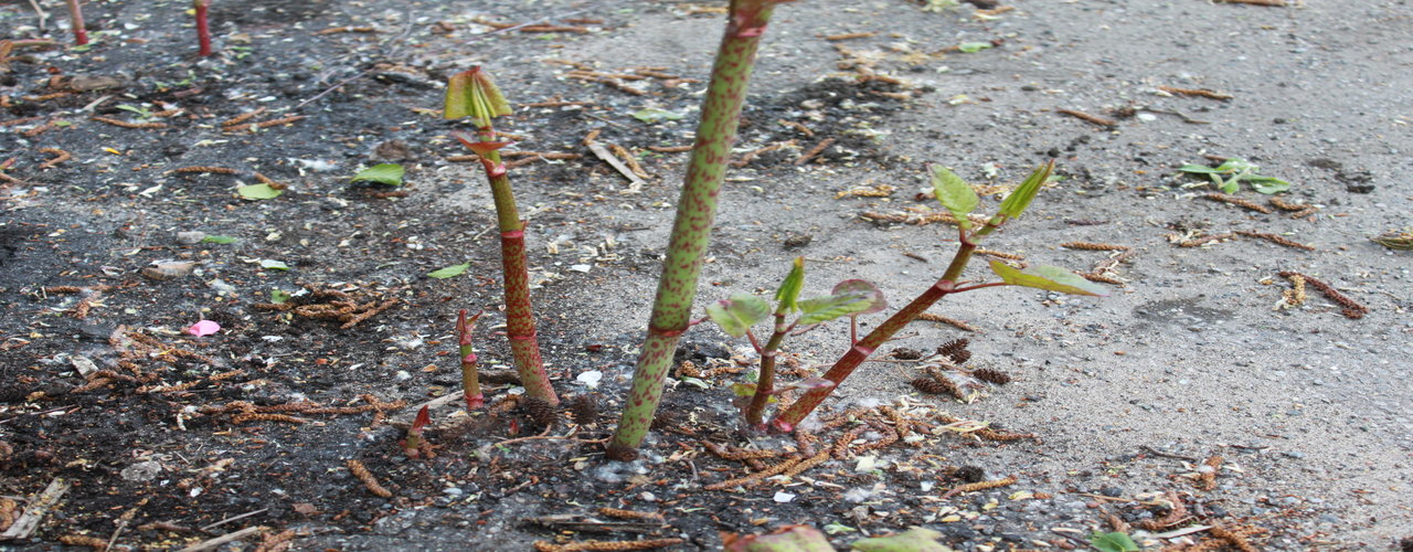 Japanese knotweed growth through a weakness in the concrete