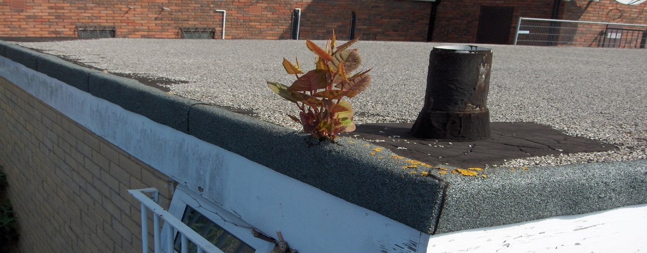 Japanese knotweed growing through a cavity wall