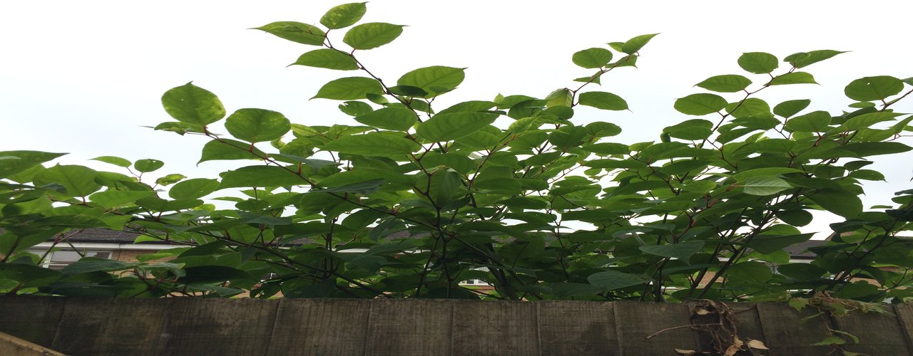 Japanese knotweed over a fence