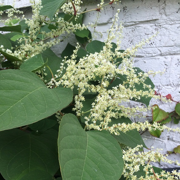 japanese knotweed flowering against property wall