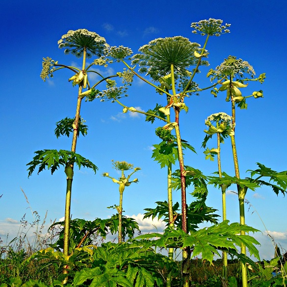Giant Hogweed tall growth in summer