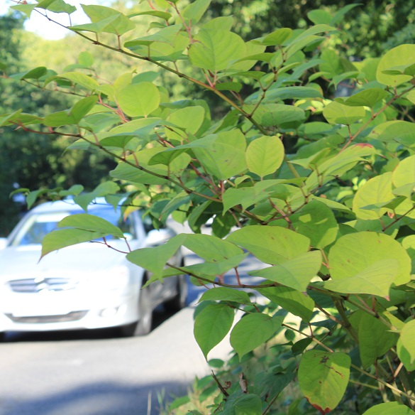 japanese knotweed healthy green leaves roadside