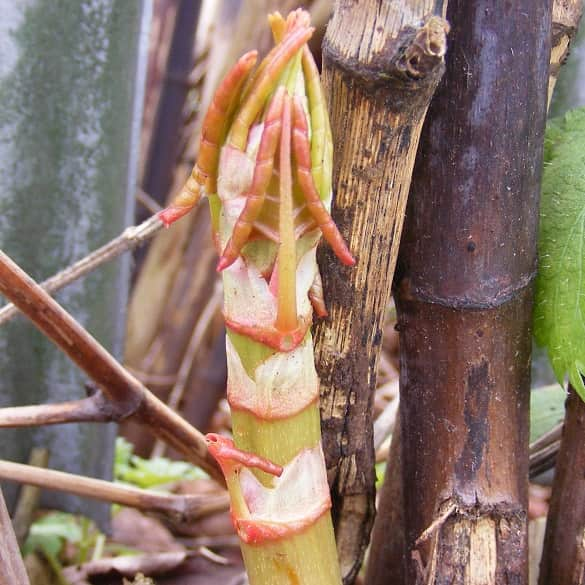 Japanese knotweed asparagus-like shoots