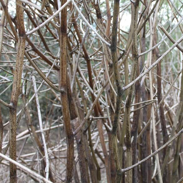 Winter knotweed canes