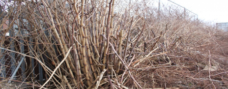 Japanese knotweed in the winter - dead canes