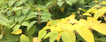 Japanese knotweed in the autumn