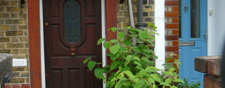 Japanese knotweed growing by the front door