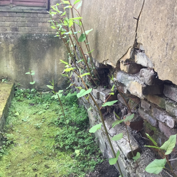 Pictures of Japanese knotweed damage